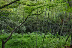 Bamboo forest in botanical garden Georgia Batumi Stock Image