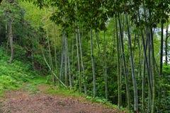 Bamboo forest in botanical garden Georgia Batumi Stock Photography