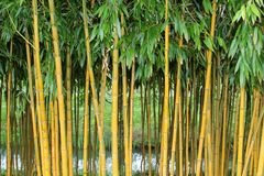 Bamboo forest in the Botanical Gardens, Netherlands Royalty Free Stock Image