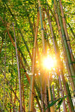 Bamboo forest with bright sunshine Stock Images