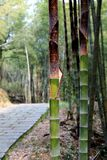The  bamboo in a forest Royalty Free Stock Images