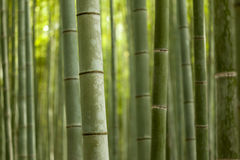Bamboo Forest Close Up. Closeup of thick bamboo stalks in a mature forest Royalty Free Stock Images