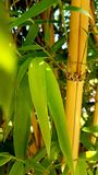Bamboo forest. A Closer look stock photography