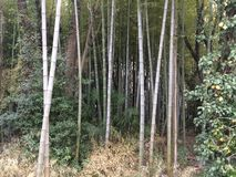 A bamboo forest Stock Image