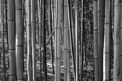 Bamboo Forest. A dense bamboo forest in the unlikely Alabama wilderness Stock Photos