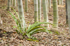 Bamboo forest detail Stock Image