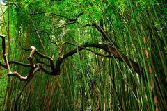 Bamboo forest. In East Maui island, Hawaii stock image