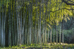 Bamboo forest edge Stock Image