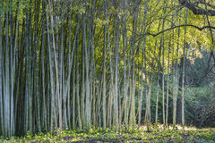 Bamboo forest edge Royalty Free Stock Photography