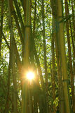 Bamboo forest with evening sun Royalty Free Stock Image