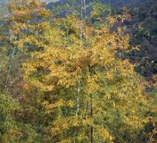 Bamboo Forest in the Fall Royalty Free Stock Images