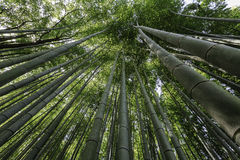 Bamboo trees Stock Photography