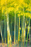 ' Bamboo Forest  ( Filtered image processed vintage effect. ) Stock Photo