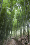 Bamboo forest. The flourish bamboo forest with glorious morning sunshine Royalty Free Stock Image