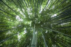 Bamboo forest. The flourish bamboo forest with glorious morning sunshine royalty free stock photography