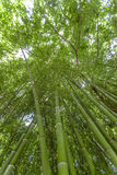Bamboo forest flourish green in sunshine, morning foliage backgr Royalty Free Stock Photography