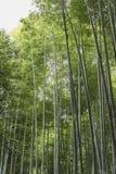 Bamboo forest foliage Arashiyama Japan. Bamboo foliage at Sagano Bamboo Forest also called Arashiyama Bamboo Grove in Arashiyama. Kyoto, Japan Royalty Free Stock Photo
