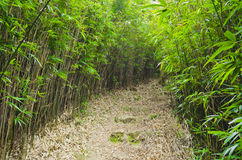 Bamboo Forest with a Footpath Stock Image