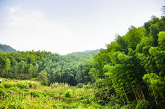 Bamboo forest. This is a bamboo forest Royalty Free Stock Photos