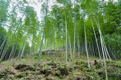 Bamboo forest. This is a bamboo forest Royalty Free Stock Photo