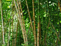 Bamboo forest in botanical garden on Maui Royalty Free Stock Photo