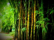 Bamboo forest garden. Green bamboo forest in Japanese garden on sunny day Stock Photo