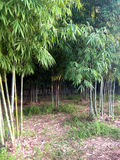 Bamboo forest. Green Stock Photo