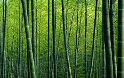 Bamboo Forest. Green Bamboo forest background image stock photo