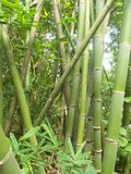 Bamboo forest and green bamboo trees royalty free stock photos