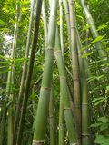 Bamboo forest and green bamboo trees look up royalty free stock photo