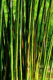 Bamboo Forest. Green bamboo Forest in china Royalty Free Stock Photo