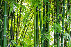 Bamboo forest. Green natural bamboo forest background royalty free stock photography