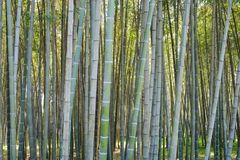 Bamboo forest. Green bamboo forest at sunny day Stock Photography
