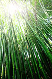 Bamboo Forest. Green bamboo Forest in sunshine Stock Image