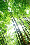 Bamboo Forest. Green bamboo Forest in sunshine Royalty Free Stock Photo