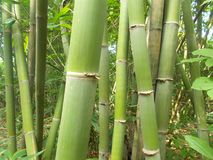 Bamboo forest and green bamboo trees 2 stock photos