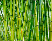 Bamboo forest. Green and vibrant bamboo forest in asia Royalty Free Stock Images