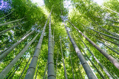 Bamboo Forest Grove Stock Photo