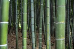 Bamboo forest grove in Kyoto stock photography