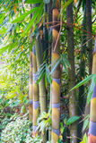 Bamboo in Forest Grove seem healthy Royalty Free Stock Image