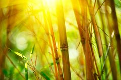 Bamboo forest. Growing bamboo over blurred background Royalty Free Stock Image