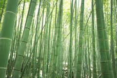Bamboo forest. In guangzhou china Stock Images