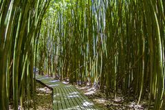 Bamboo Forest in Hana, Maui Hawaii. This is a Photography from the Bamboo Forest in the Pipiwai Trail in Maui Hawaii. its have a Colorful Green and Yelow royalty free stock image
