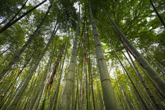 Bamboo forest in Hangzhou, China Royalty Free Stock Photo