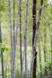 Bamboo forest in Hangzhou, region where the famous Longjing tea Stock Photography