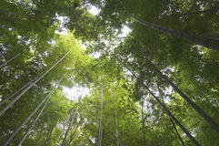 Bamboo forest in Hangzhou in summer.  Stock Photo