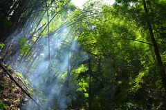 Bamboo Forest Haze Stock Image