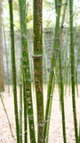 Bamboo forest with hieroglyphs Stock Photography