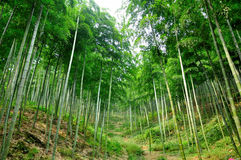 Bamboo Forest Hiking Trail Royalty Free Stock Photos