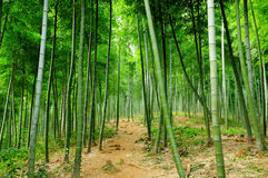 Bamboo Forest Hiking Trail Stock Photos